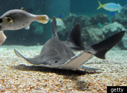 Sawfish Nose Senses