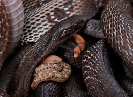 Une famille cohabite avec 40 serpents