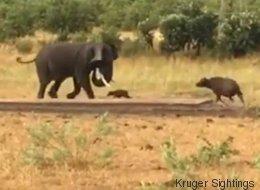Ce bébé buffle téméraire pourchasse un éléphant de 10 fois sa taille