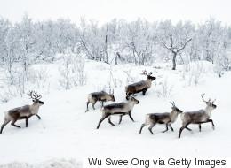 Ce pays va abattre 2000 rennes pour éradiquer une maladie
