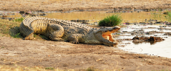 CROCODILES IN ZIMBABWE