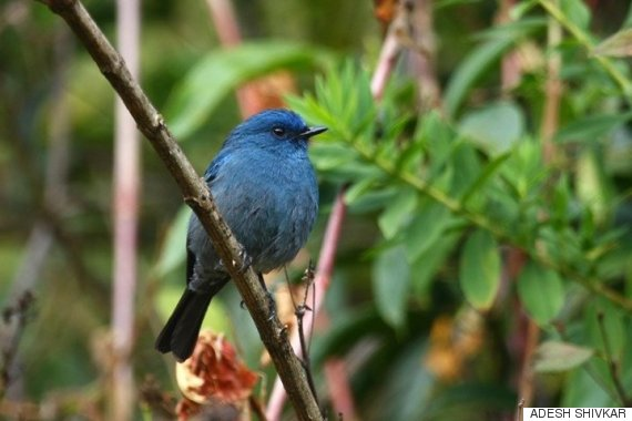 the nilgiri flycatcher