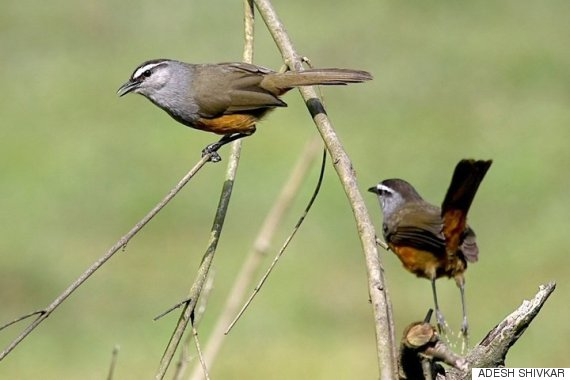the kerala laughingthrush