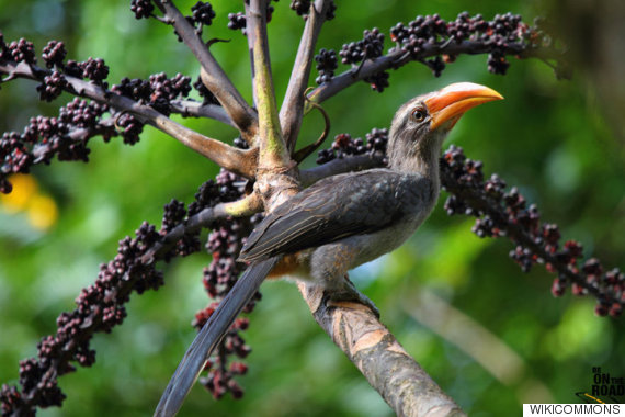 the malabar grey hornbill