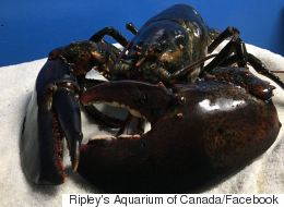 Giant Lobster Goes From Death Row To Stardom