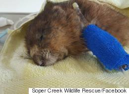 Ontario Muskrat To Get A Crowdfunded Autopsy