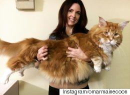 이 고양이가 어쩌면 세상에서 가장 큰 고양이일 수 있다
