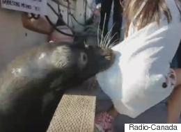 Vidéo d'une jeune fille tirée dans l'eau par une otarie au Canada