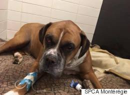 Dog Found Buried Alive Near Montreal Dies