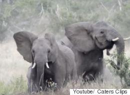 Ελέφαντες το βάζουν στα πόδια επειδή τους κυνηγούν...μέλισσες