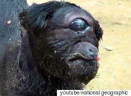 Κατσικούλα - κύκλωπας γεννήθηκε σε χωριό της Ινδίας και έχει επιβιώσει παρά τις προβλέψεις των κτηνιάτρων