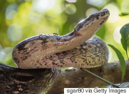 Σας έχουμε άσχημα νέα. Αυτά τα τεράστια φίδια κυνηγούν το θήραμά τους σε ομάδες