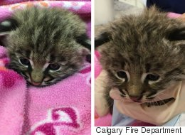 Calgary Firefighters Rescue Bobcat Kittens From Burning Home
