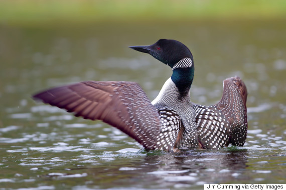 canadian loon