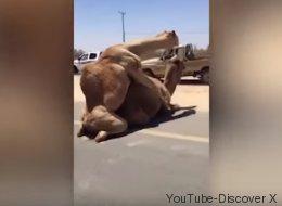 Un embouteillage causé par des chameaux en plein coït