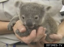 Koala Joeys San Diego Exam