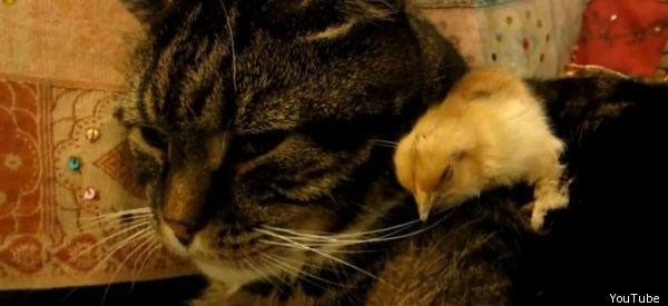 Us Supreme Court Declines To Take Up >> Baby Chick Falls Asleep On Cat For Adorable Nap Session ...