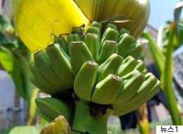 대구에 이어 광주에서도 9년전 심은 바나나가 열렸다