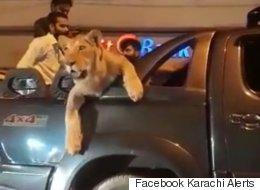 Il se promène en voiture avec sa lionne à l'arrière