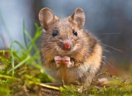 لماذا أكل الفأر الطماطم؟