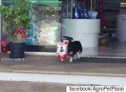 이 개는 매일 가족을 위해 사료를 사러 간다(영상)