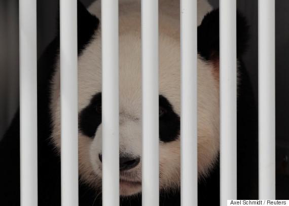 berlin panda