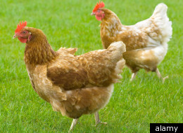 Chicken Urinary Tract Infections
