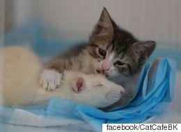 무서움이 없는 쥐가 고양이들을 보살피고 있다