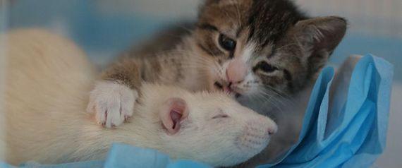 RAT AND KITTEN