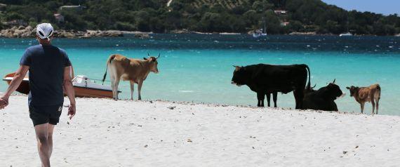 COWS FRANCE BEACH