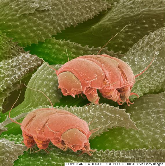 tardigrades