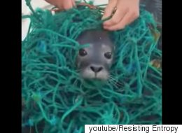 그물 쓰레기에 몸이 묶인 물개를 발견했다(동영상)