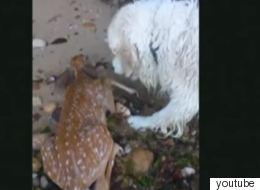 Συγκλονιστικό βίντεο με σκύλο που βουτάει στο νερό και σώζει ελαφάκι από σίγουρο πνιγμό