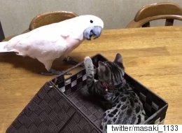 도구를 사용하는 앵무새와 그냥 고양이가 만났더니 귀엽다(영상)