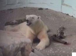 2년 만에 폭로된 '에버랜드 북극곰'의 근황(영상)