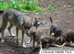 아빠 늑대가 혼자 새끼들을 키우게 된 사연