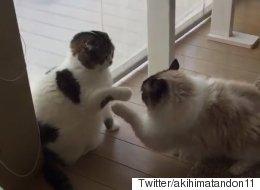 만사가 귀찮은 고양이가 세상 느긋하게 싸우는 법(영상)