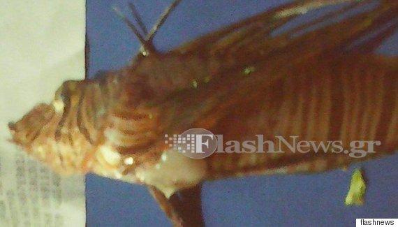 fish  Άκρως επικίνδυνο λεοντόψαρο εντοπίστηκε στα Σφακιά. Τι προκαλεί στον άνθρωπο το τσίμπημά του o FISH 570