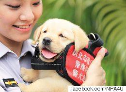 경찰견 훈련을 받던 대만 강아지들은 여전히 졸리다(사진)
