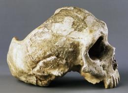 اكتشاف جمجمةِ قردٍ عمرها 13 مليون عام يُظهر كيف بدا أسلاف الإنسان