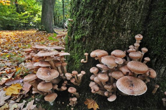 honey fungus