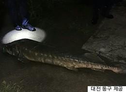 대전 도심 하천에서 철갑상어가 발견된 사연