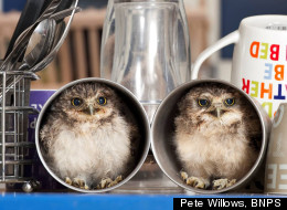 LOOK: Adorable Burrowing Baby Owls