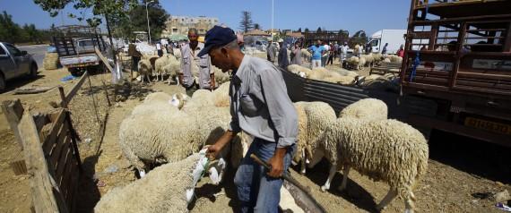 SHEEP ALGERIA