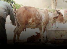 فضلات الحيوانات علاج للسرطان! يسقون الأبقار مشروباً خاصاً ليصبح البول دواءً