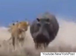 하마를 잘 못 건드린 걸 곧바로 후회한 사자(동영상)