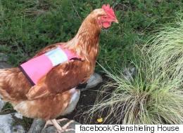 산책 좋아하는 닭을 위해 조끼를 만들어 입혔다