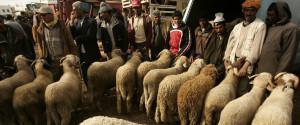 Morocco Sheep