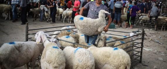GAZA SHEEP