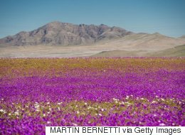 깜짝 폭우 덕분에 세상에서 가장 건조한 사막에 수백 가지 꽃이 피었다(화보)